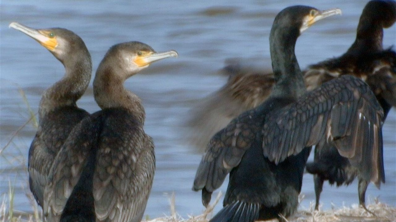 Un grupo de cormoranes
