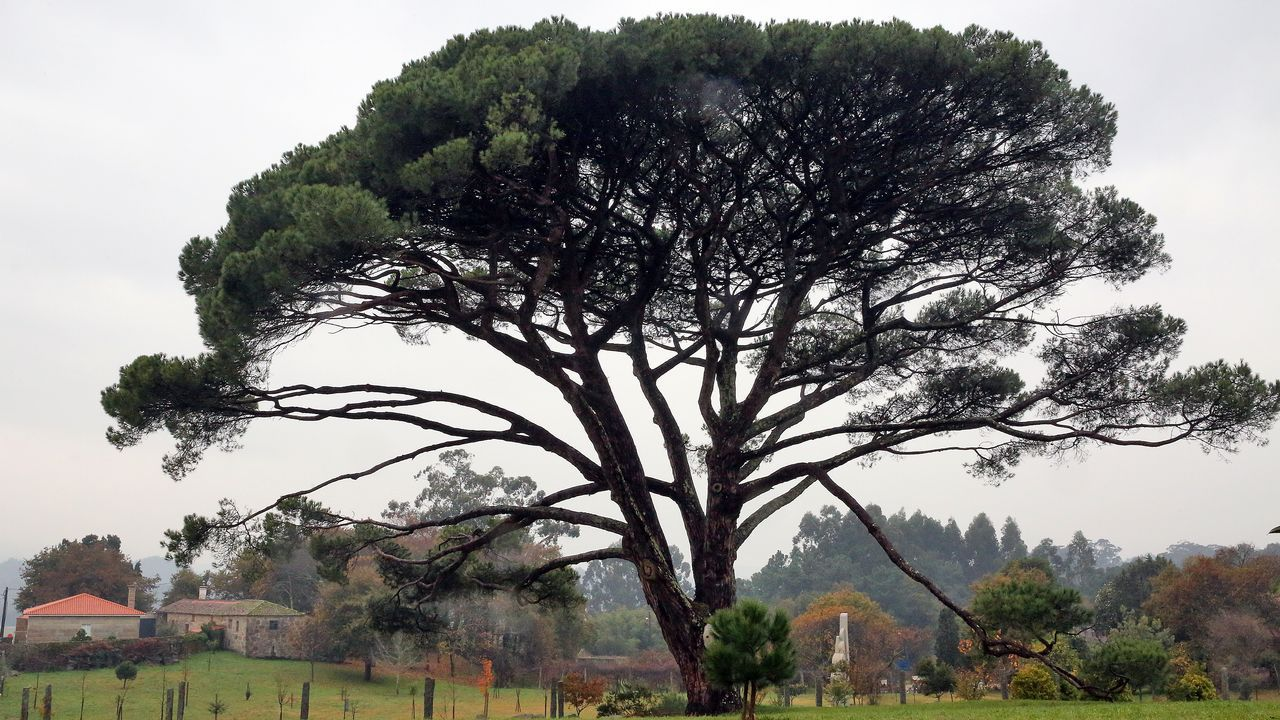 Novas árbores senlleiras en O Salnés.Cerca de 40 grupos y 800 personas participaron en la mascarada ibérica de Viana do Bolo