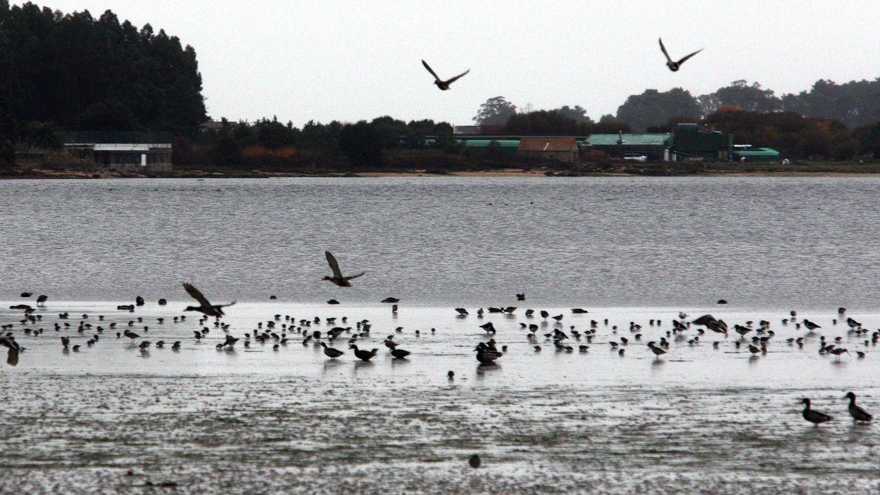 Observación de aves en el complejo intermareal de O Bao