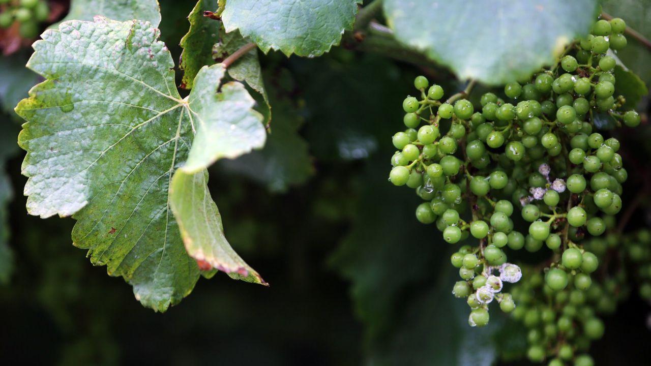 .Viñedo de albariño afectado por el mildiu