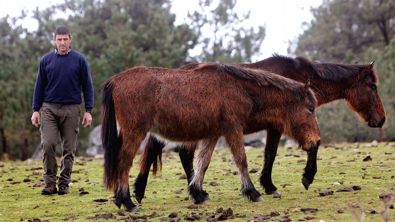 Modesto Domínguez, en la sierra de A Groba, con algunos de los 850 caballos que gestiona su asociación de ganaderos