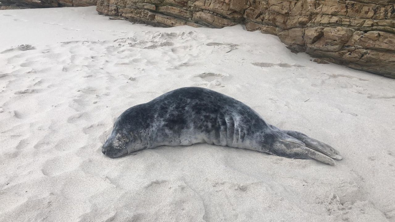 Aparece herida una cría de foca en una playa de Barreiros