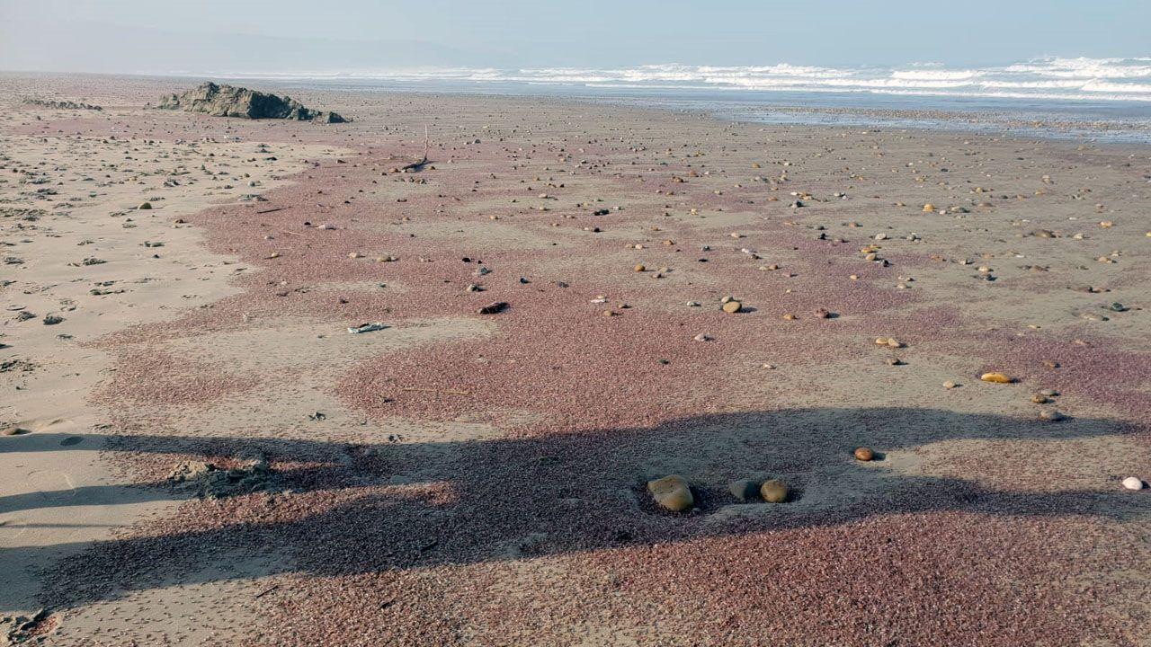 Millones de pequeños crustáceos que cubren las playas del occidente hasta Galicia.Millones de pequeños crustáceos tiñén Xagó de rojo