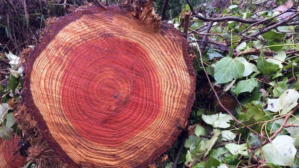.Como los seres humanos, los árboles cuentan su vida por años, y la van registrando en anillos de crecimiento