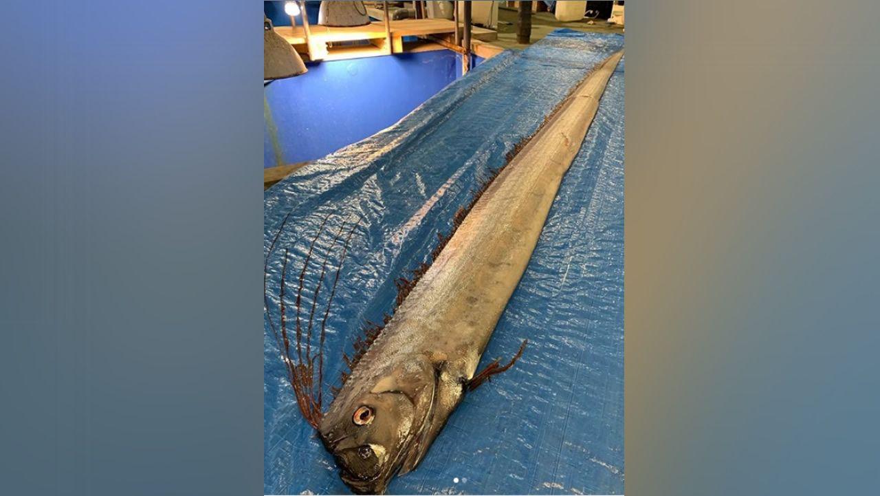 Altas temperaturas en Galicia.Ejemplar de pez remo capturado en las costas de Japón esta semana