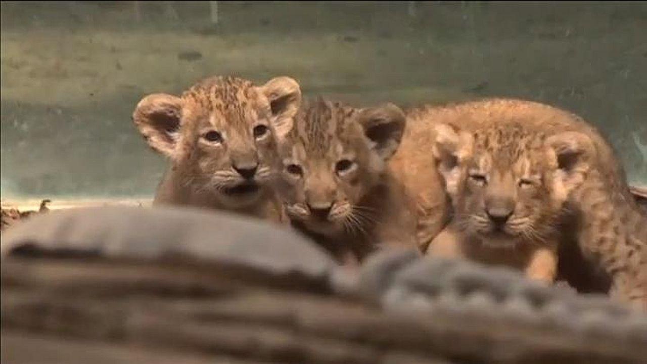 Los trillizos de león ya se pasean por el zoo de Fráncfort