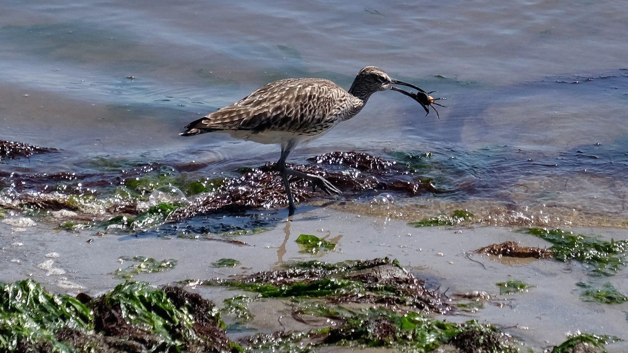 El pato criollo que vigilaba el «paseo del colesterol».O relevo occidental das Cíes, enfrontado a mar aberto, e máis abrupto