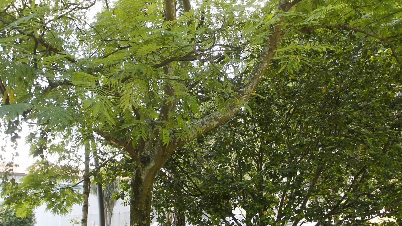 Acacia (Uruguay)
