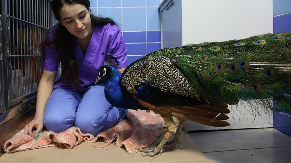El pavo real durante su estancia en el hospital veterinario