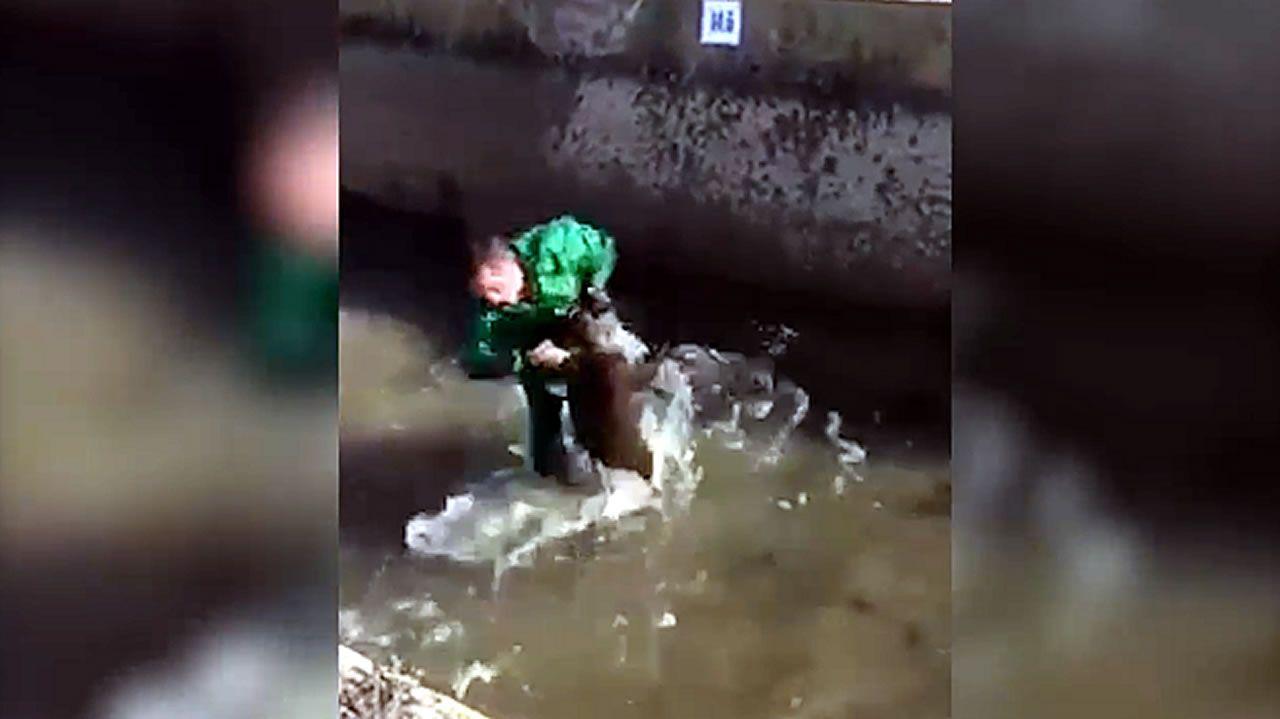 Un hombre golpea y ahoga a un jabalí en una acequia.