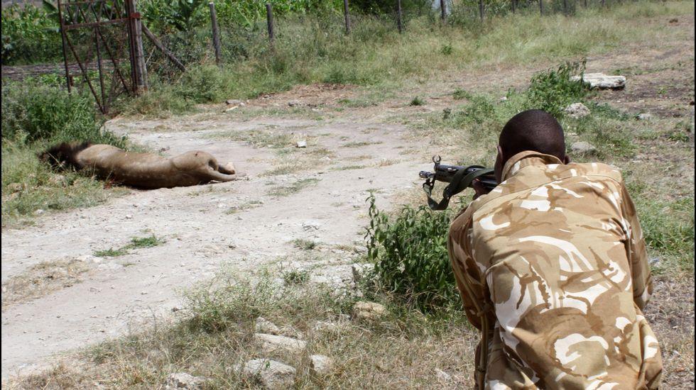 Disparan a un león hasta que muere después de que atacara a un hombre en Kenia