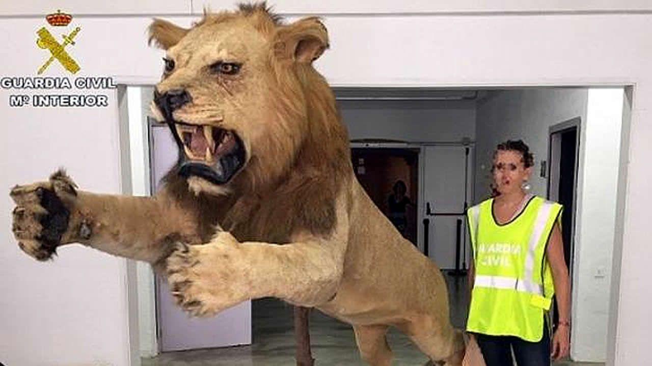 Así es el enorme león disecado que se vendía por 6.000 euros en Internet.