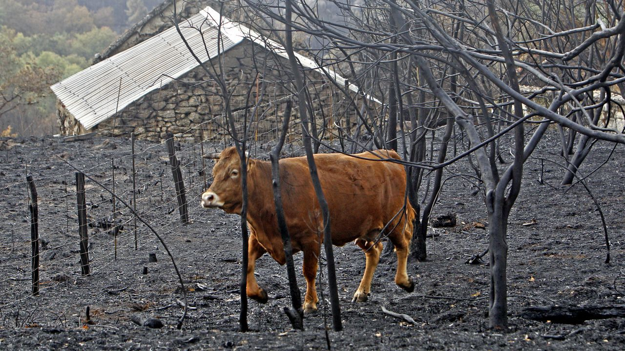 Centro de menores de Sograndio.Una vaca en un terreno quemado