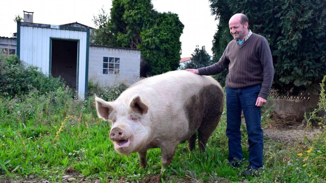 Para quien solo conoce los cerdos de verlos crecer hasta su edad habitual de matanza, siempre menos de un año, sorprendía su volumen.