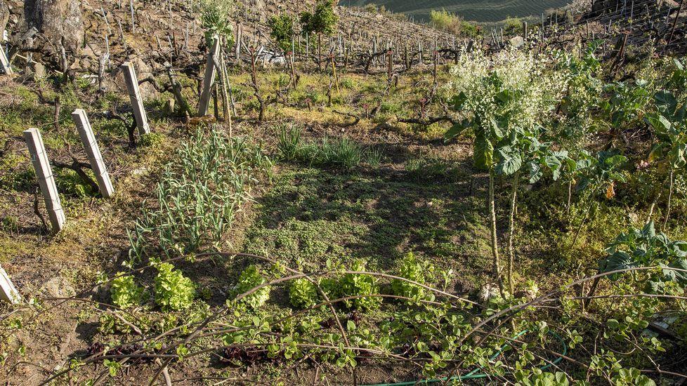 En primer plano, la plantación de kiwi del viñedo situado en O Lameiro