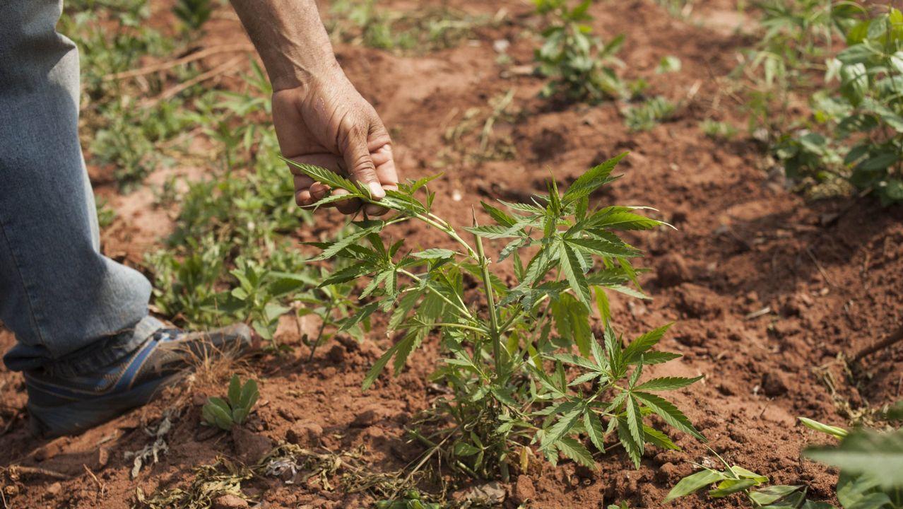 Imagen de archivo de un cultivo de marihuana