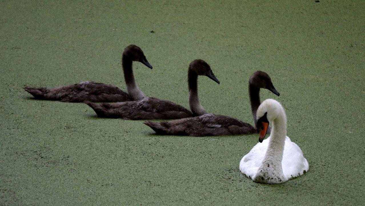 Un cisne y sus crías se sientan cerca de los lagos secos y ornamentales de Wanstead Park que crecen con malas hierbas durante las fuertes lluvias en Londres