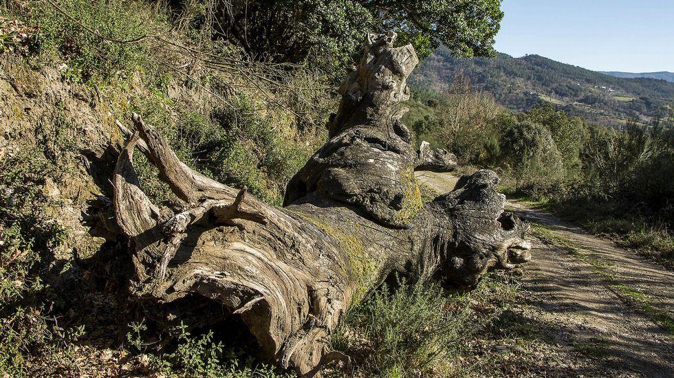 Un viejo tronco de grandes dimensiones caído a la orilla del camino