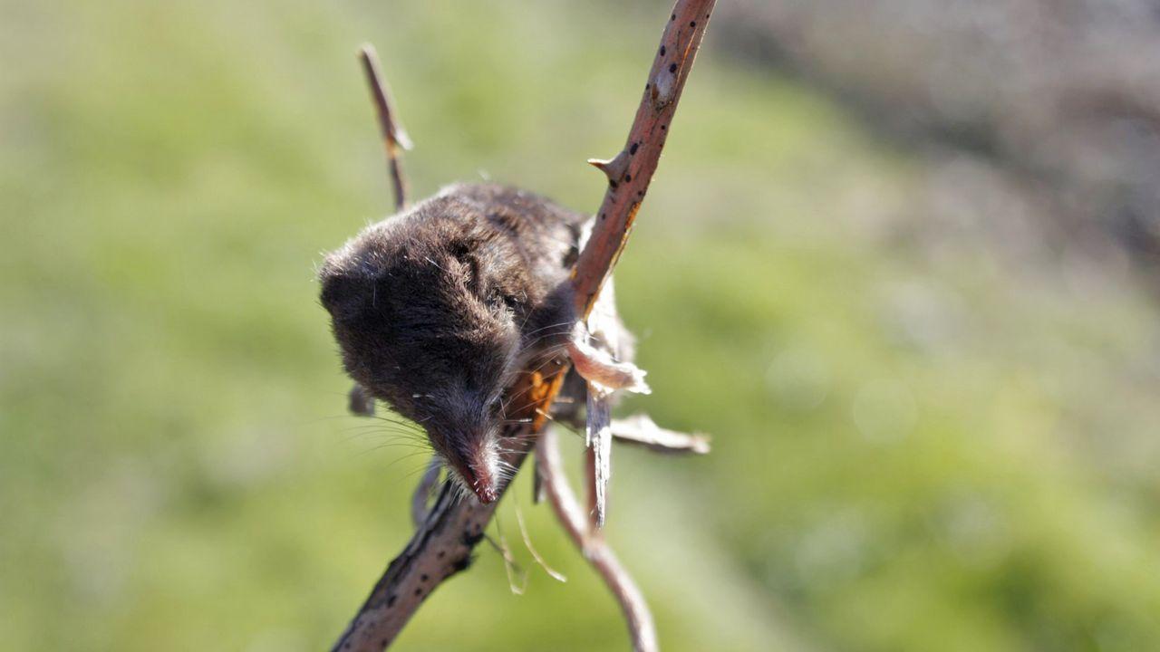 .Una musaraña encontrada en Santa Comba