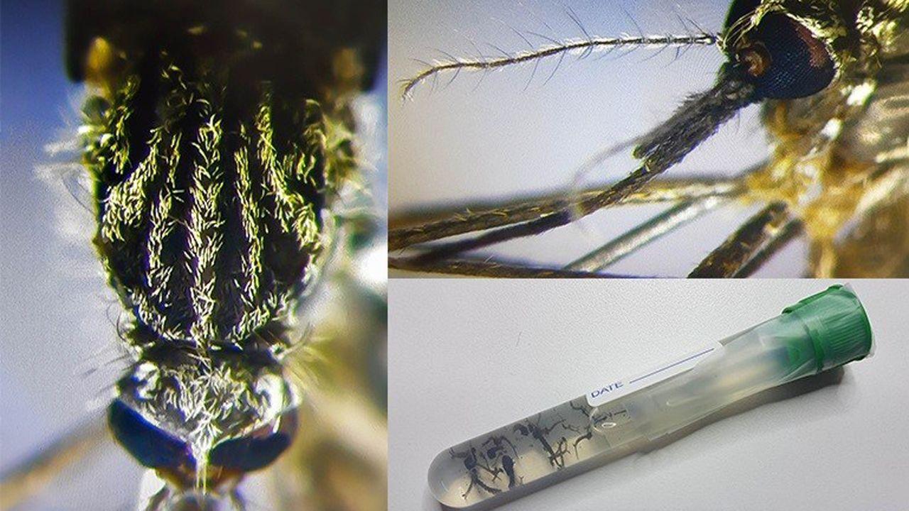 .El mosquito Aedes japonicus