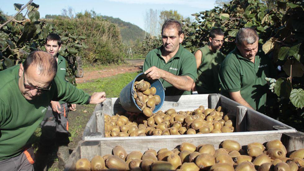 Trabajadores recogen kiwis en la plantación