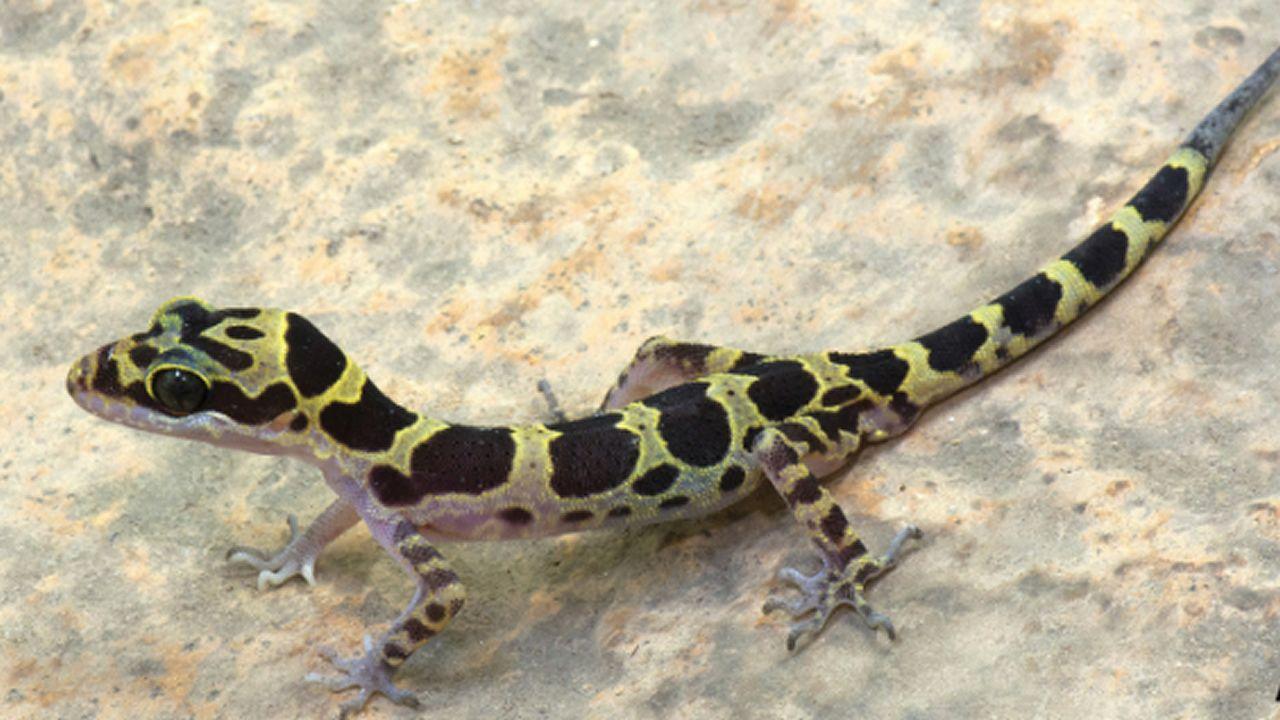 El gecko «Cyrtodactylus pyinyaungensis»  descubierto en Myanmar.