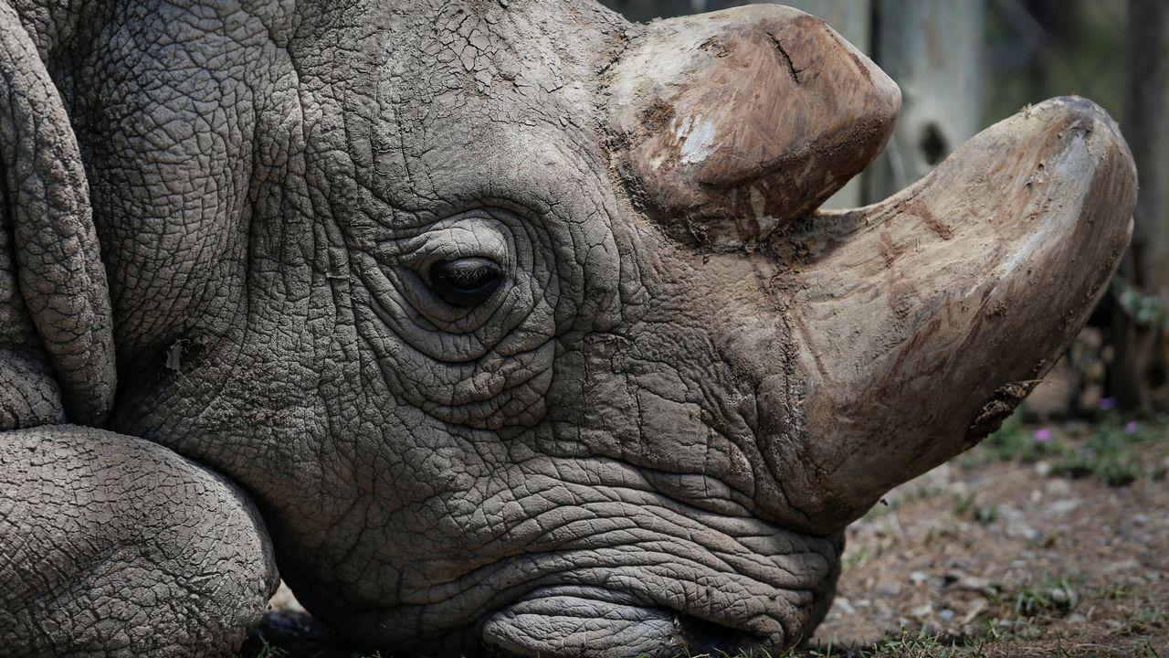 Muere Sudán, el último rinoceronte blanco del norte del mundo