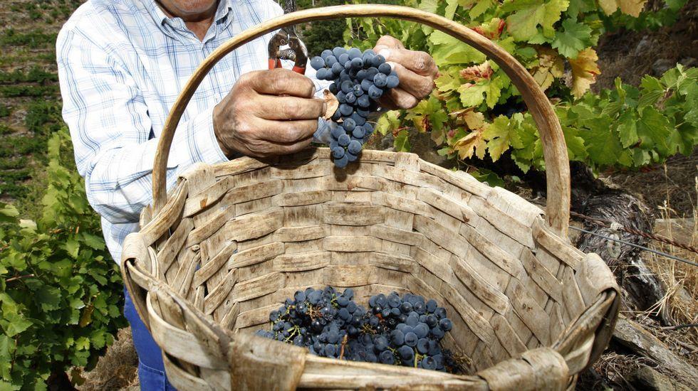 Viñedo de albariño afectado por el mildiu