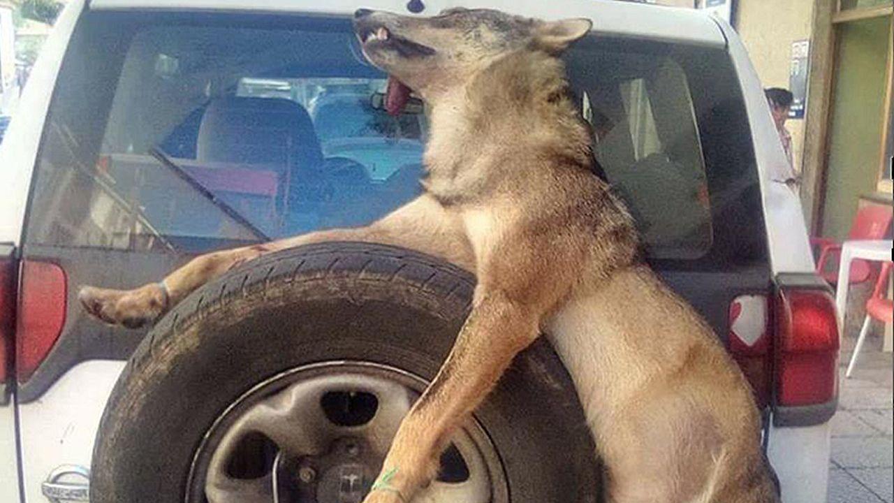 Un lobo abatido y exhibido por la guardería del Principado