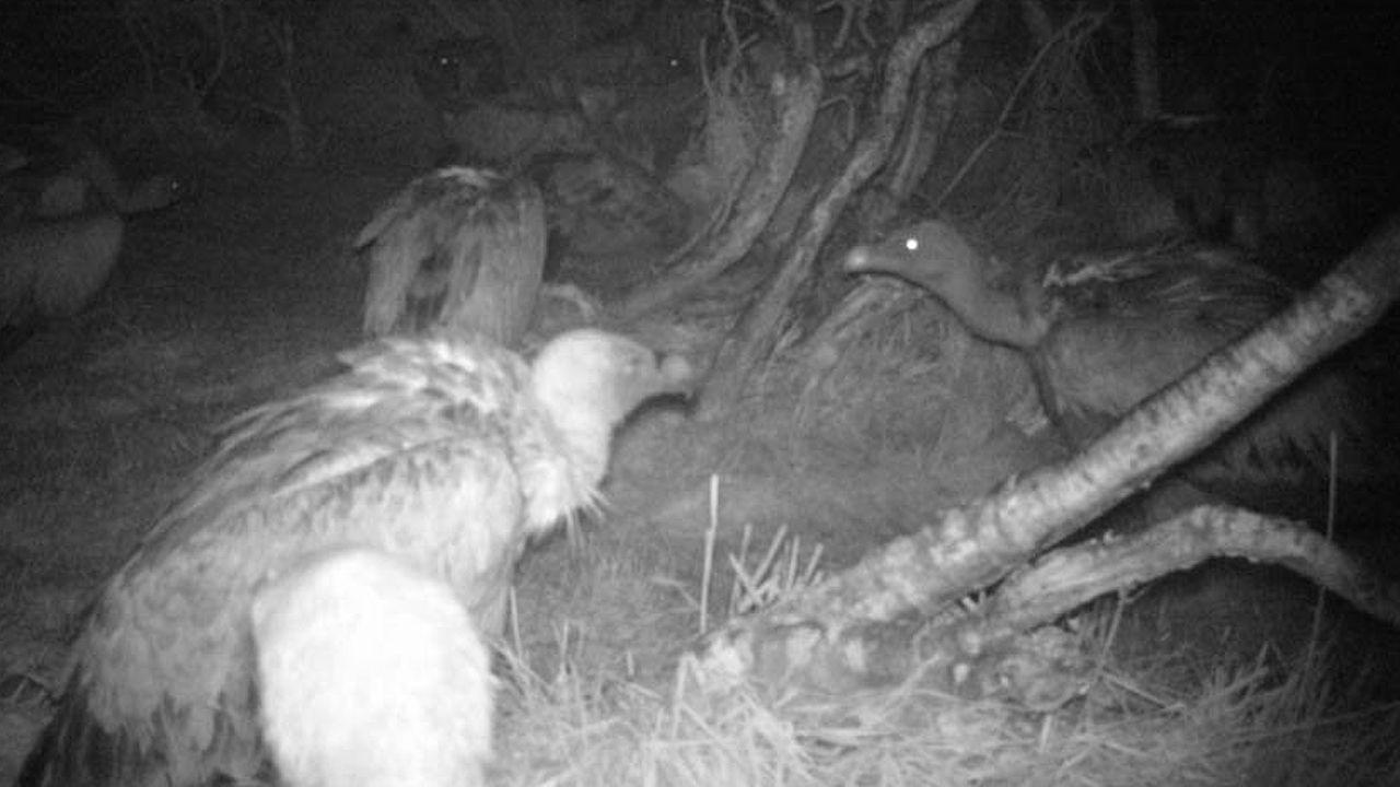 Los buitres grabados alimentándose de noche en Somiedo