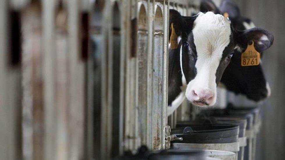 La autovía do Morrazo gana otros cuatro kilómetros.Instalaciones para producir leche de vaca ecológica.