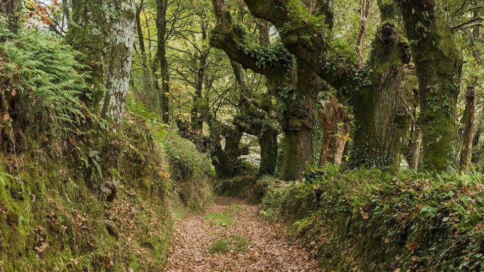 .Árboles centenarios en el Camiño de Tras das Airas