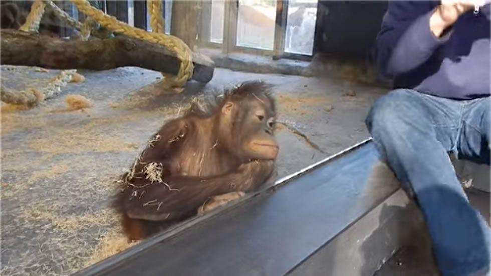 La reacción de una orangutana en el zoo de Barcelona.