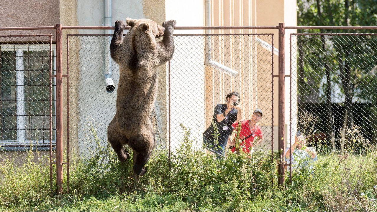 Un oso escala la valla del patio de la una escuela en la ciudad de Csikszereda, en Rumanía