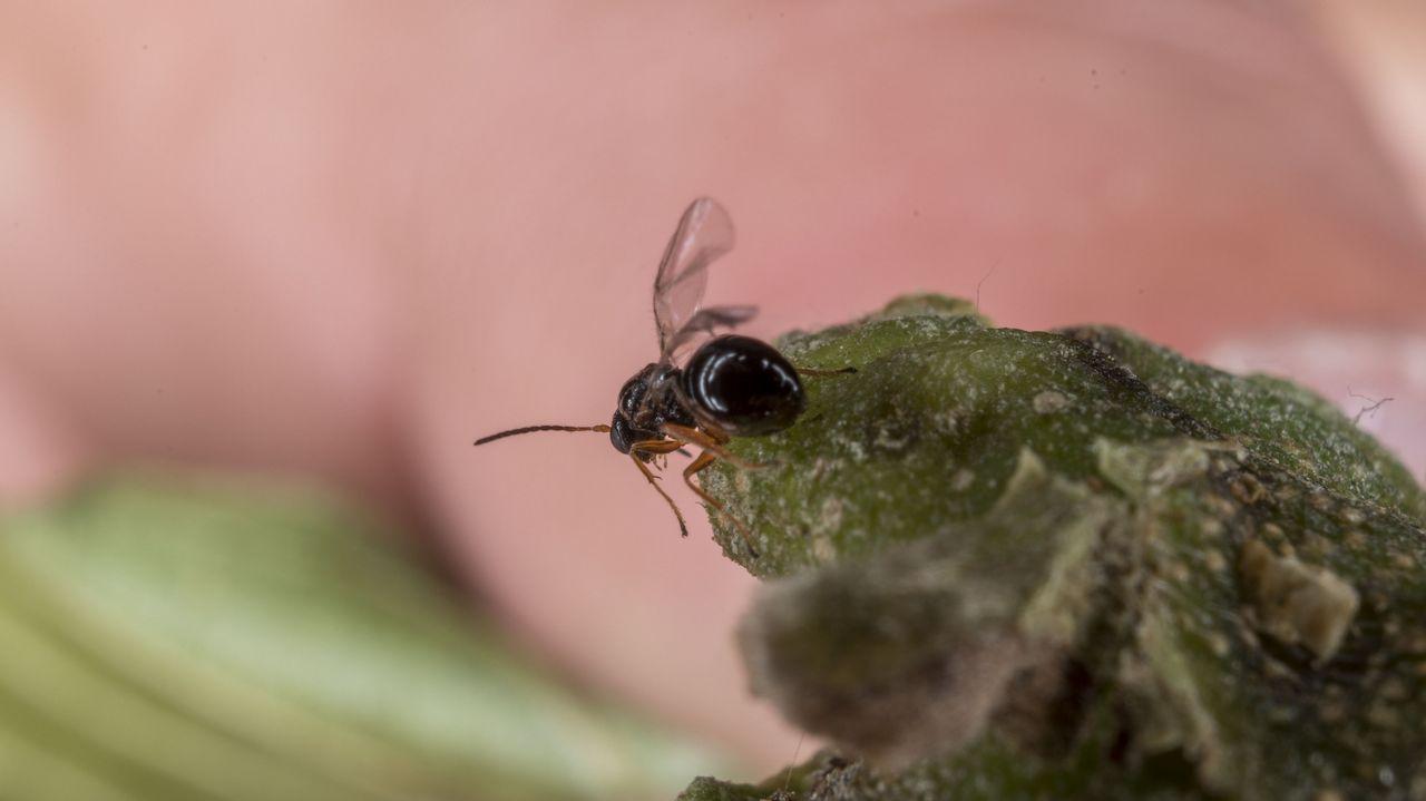 La vida del insecto adulto solo dura en torno a diez días. Durante este tiempo depositan sus huevos en los brotes de los castaños. Los huevos tardan entre treinta y cuarenta días en eclosionar y entonces nacen las larvas, que no se desarrollan inmediatamente