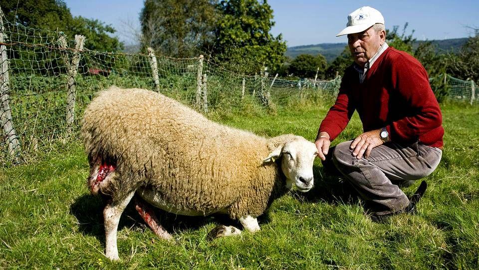 Vecinos de Canedo, en la parroquia de Val do Xestoso, observan la oveja atacada ayer.