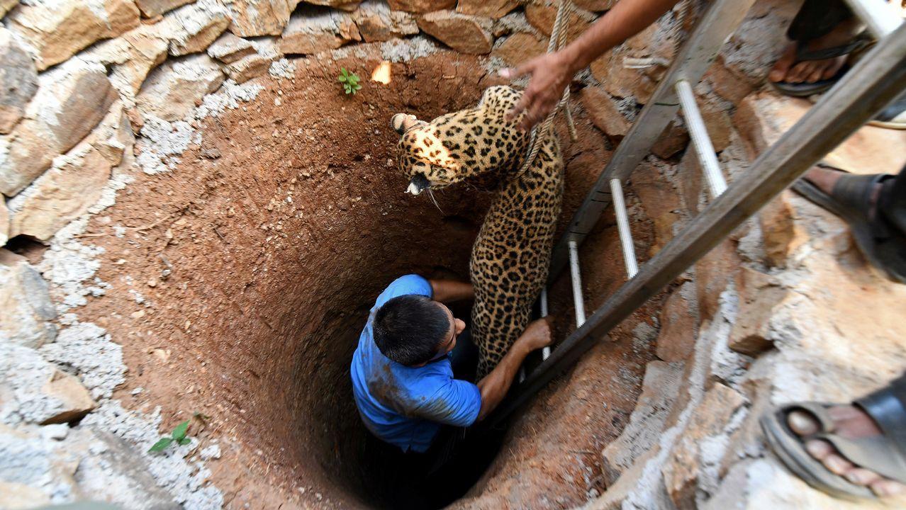 El laborioso rescate de un leopardo en India