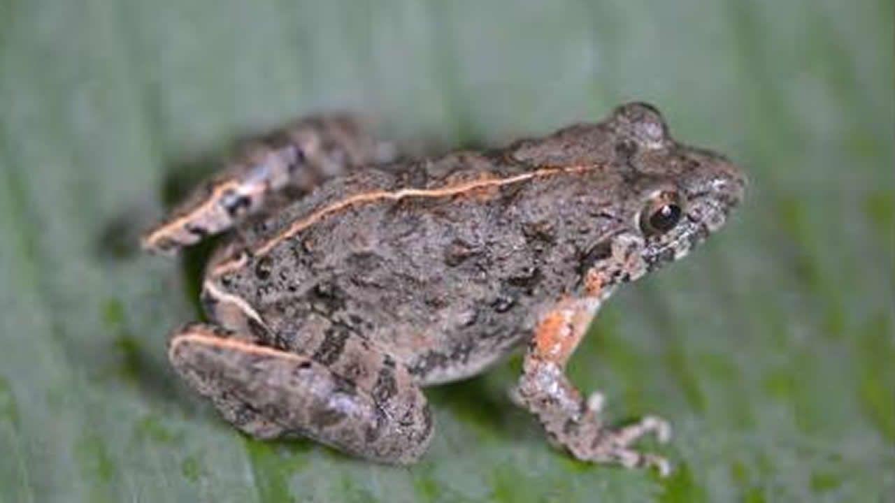 La rana tailandesa Fejervarya muangkanensis