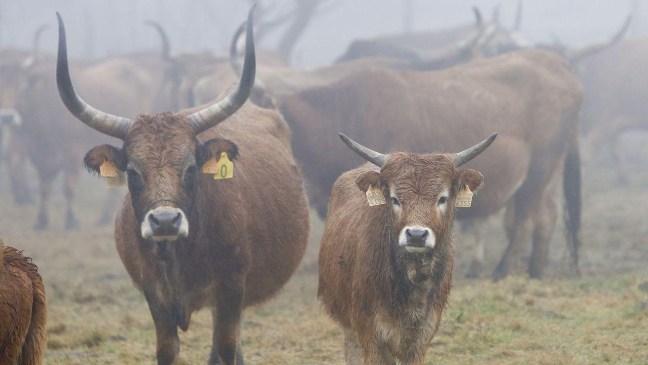 El ganado mostrenco necesita hierba seca por falta de pasto en el monte