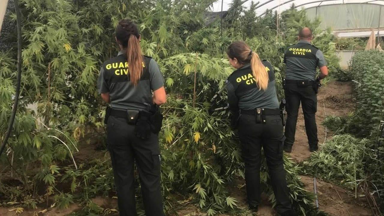 Piden auxilio a la Guardia Civil para que no les roben una plantación de marihuana en Cambados.