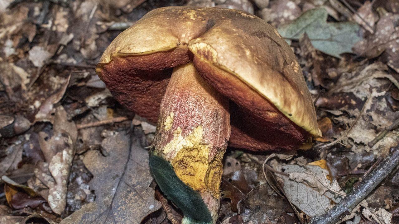 El pie del Boletus erythropus se tiñe de un color verdoso al ser cortado