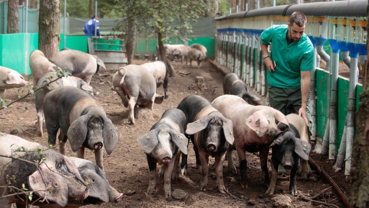 El porco celta se pastorea con patente.