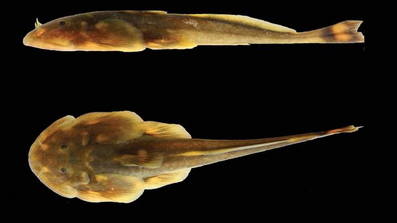 El «Oreoglanis hponkanensis» fue descubierto en Myanmar.