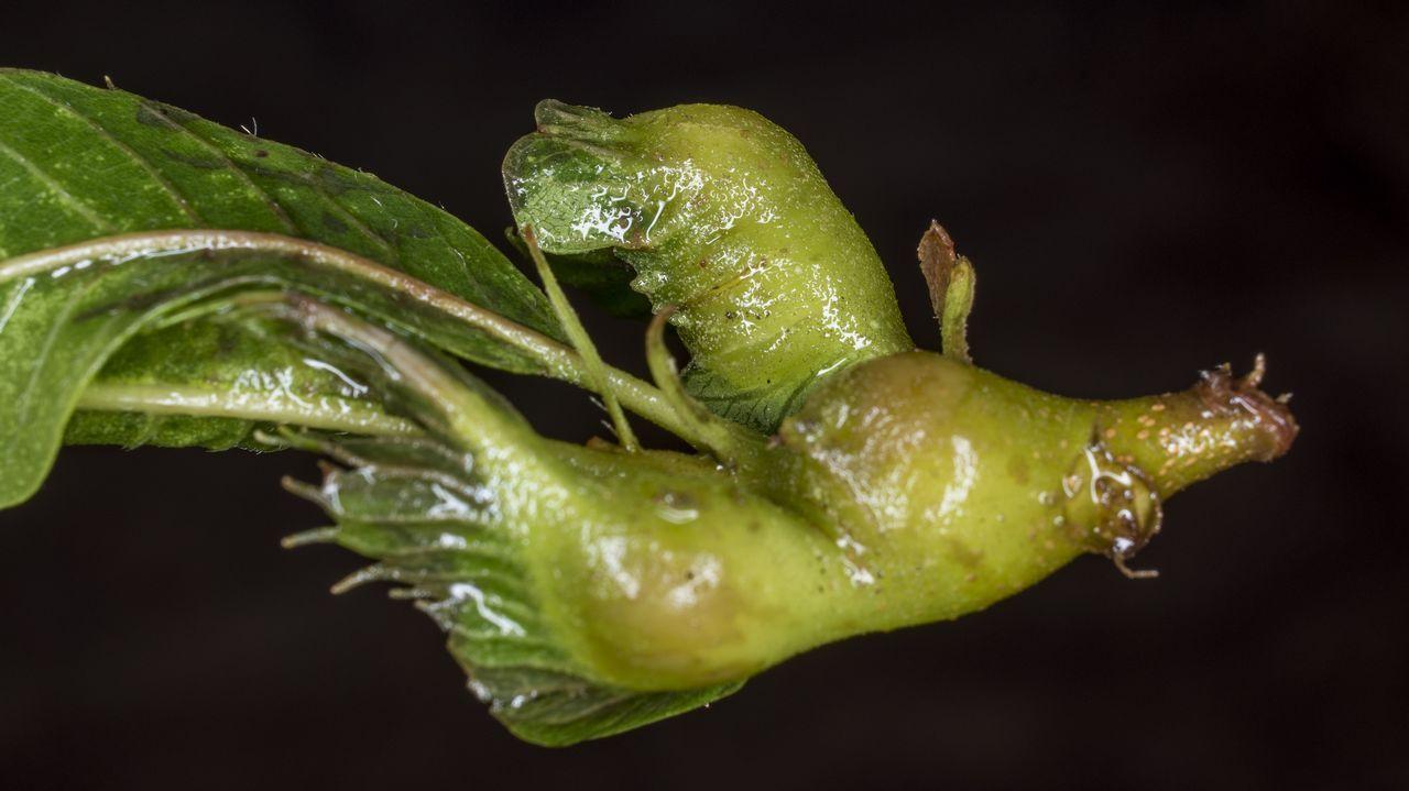 Las larvas de la avispilla (Dryocosmus kuriphilus) se desarrollan durante el invierno en el interior de las yemas de los castaños, haciendo que se formen agallas en los tejidos vegetales afectados