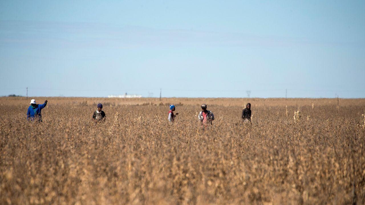 Un grupo de agricultores caminan entre las plantas de soja para eliminar cualquier planta invasora antes de la siega, en Bothaville (Sudáfrica)