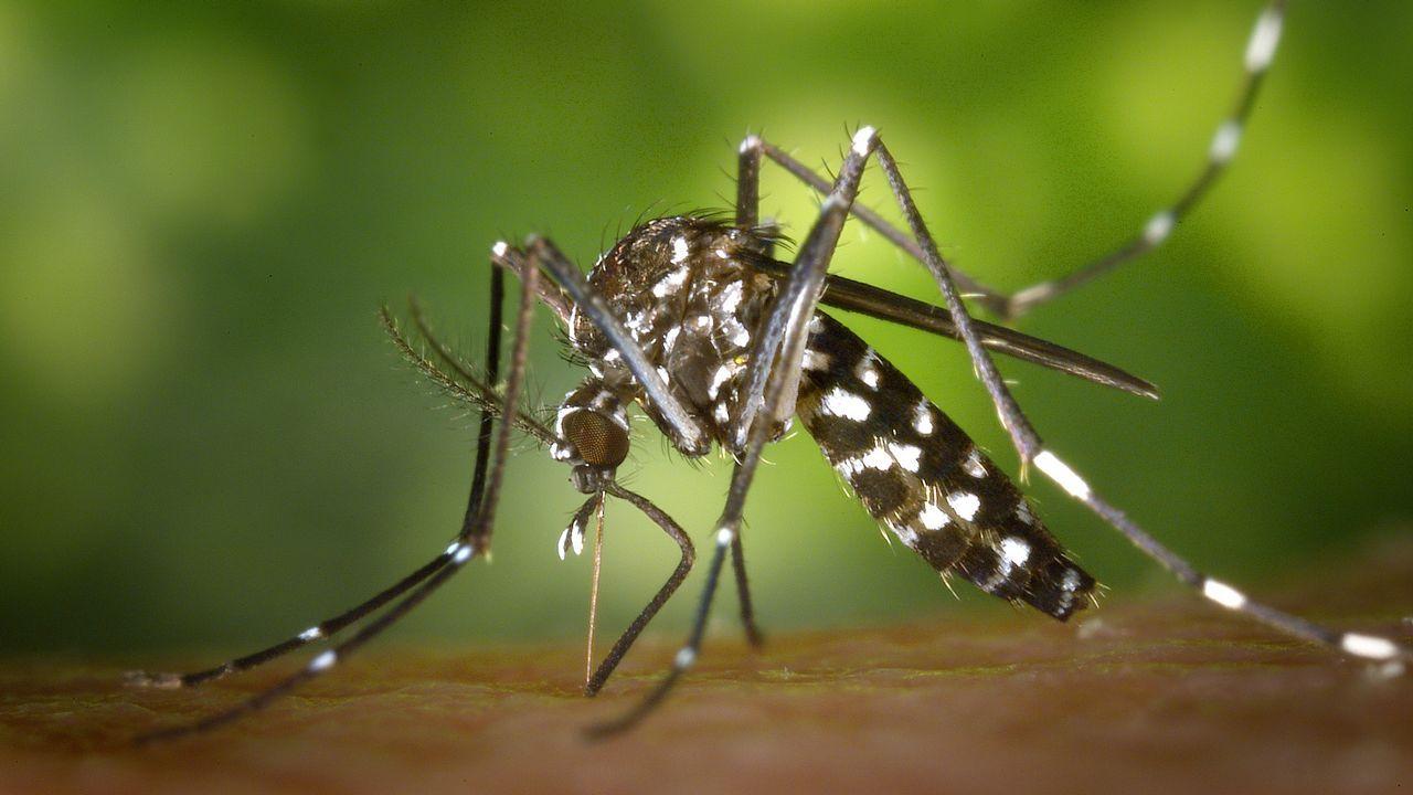.Aedes albopictus