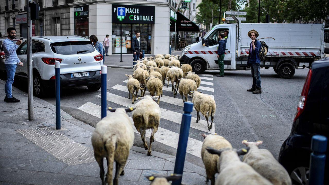 .Un granjero cruza un paso de peatones con sus ovejas en Aubervilliers, al norte de París