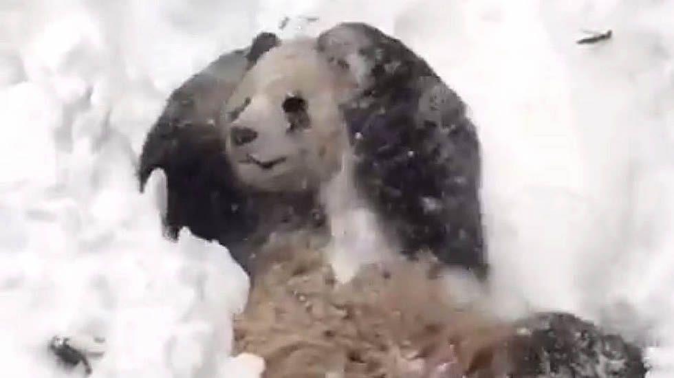 Tian Tian en la nieve