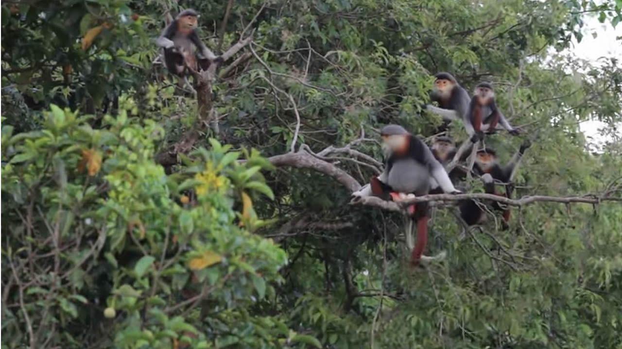 Así son los monos langures, una de las especies más amenazadas del planeta
