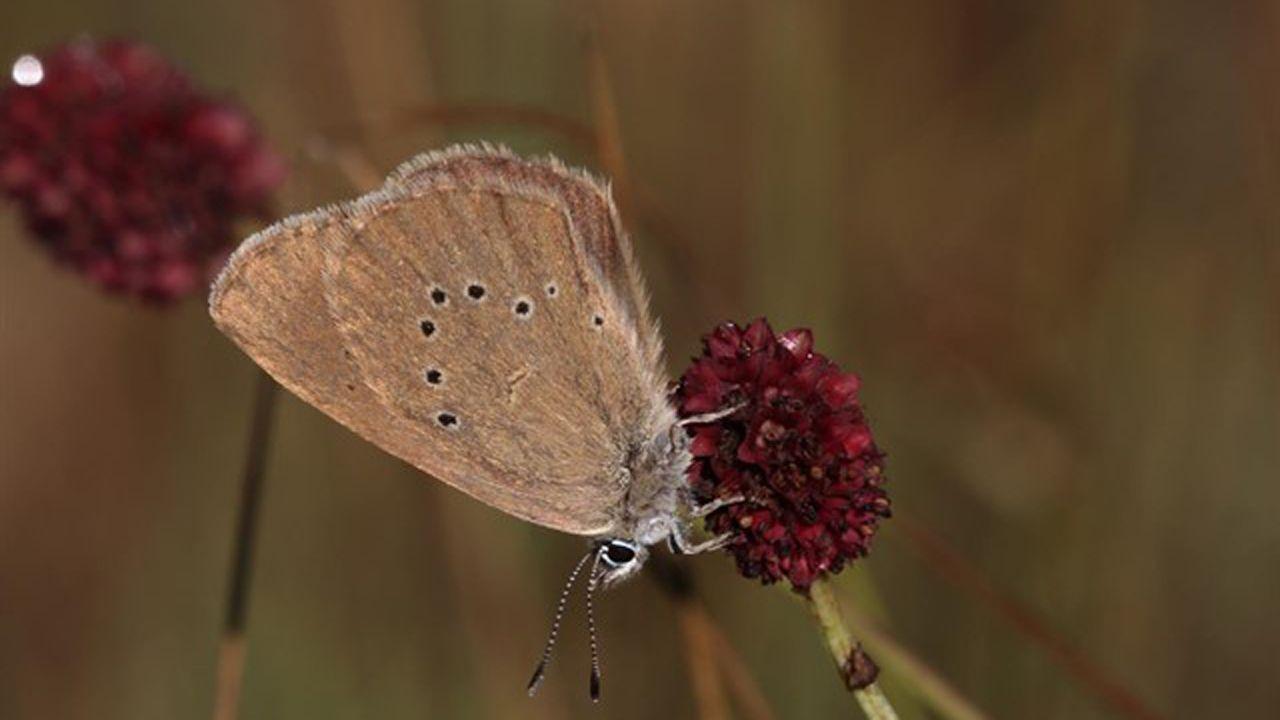 La mariposa hormiguera oscura
